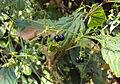 Rubia Cordifolia 16.JPG