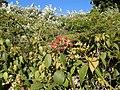 Rubus glaucus.jpg