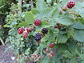 Rubus vigorosus - Botanischer Garten, Frankfurt am Main - DSC02456.JPG