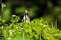 Ruby-throated hummingbird (36835621920).jpg