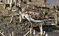 Ruff, Philomachus pugnax, at Marievale Nature Reserve, Gauteng, South Africa (20818713500).jpg