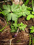 Ruhland, Grenzstr. 3, Balkan-Windröschen im Garten, Blätter und öffnende Blüten, Frühling, 03.jpg