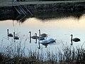 Rusanda627 swans.jpg