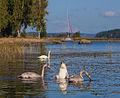 Säynätsalo - swans.jpg