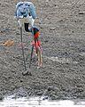 Saddle-billed Stork (Ephippiorhynchus senegalensis) male just caught a Catfish (Clarias gariepinus) (32338895174).jpg