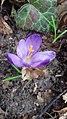 Saffron - Crocus vernus 39.jpg