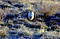 Sage-grouse (15573539549).jpg