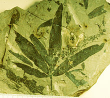 A fossil leaf, four elongate leaves branch off from the same point on the stem