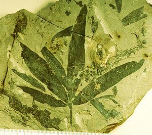Caytoniales - Image: Sagenopteris phillipsi Natural History Museum v 18596 Retallack 1980