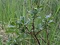 Salix myrsinites Kiiminki, Finland 25.06.2013.jpg