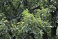 Salix rosthornii, Hangzhou Botanical Garden 2018.06.03 15-37-44.jpg