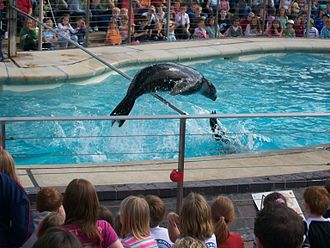 Whipsnade Zoo - A sea lion performing in Sea Lion Splash.