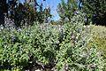 Salvia fruticosa kz4.jpg