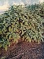 Salvia officinalis - φασκόμηλο 02.jpg