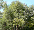 Sambucus mexicana 1.jpg