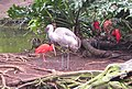 Sandhill Crane with red shorebird.jpg