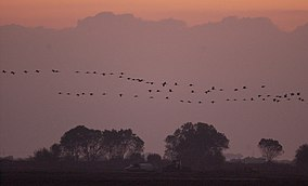 Sandhill cranes at sunset, Pixley NWR (6366886917).jpg