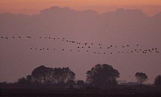Pixley National Wildlife Refuge - Sandhill Cranes