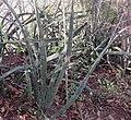 Sansevieria sp. Mount Maco 4 (5233981032).jpg