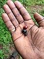 Santalum album, Indian sandal, ചന്ദനം. Seed.jpg