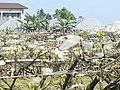 Sanxing Top-Grafted Pears.jpg