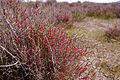 Sarcocornia fruticosa0850.jpg