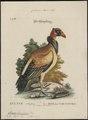 Sarcoramphus papa - 1700-1880 - Print - Iconographia Zoologica - Special Collections University of Amsterdam - UBA01 IZ18100109.tif