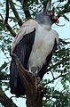 Sarcoramphus papa - Flickr - Dick Culbert.jpg