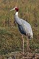 Sarus crane (Grus antigone).jpg