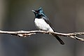 Satin Flycatcher - Hobart.jpg