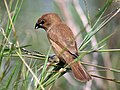 Scaly breasted Munia (Immature) I IMG 4758.jpg
