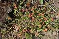 Scarlet Pimpernel (Anagallis arvensis) - geograph.org.uk - 472252.jpg