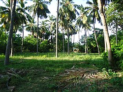 Palm Trees, Thiruchengode