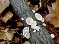 Schizophyllum commune, split gill.jpg