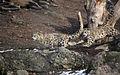 Schneeleoparden (Panthera uncia) Zoo Salzburg 2014 a.jpg