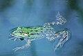 Schwimmender Frosch.JPG