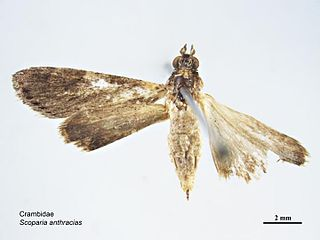 <i>Eudonia anthracias</i> species of insect