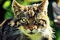 Scottish Wildcat (18164611680).jpg