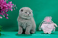 Scottish fold- straight 17.JPG