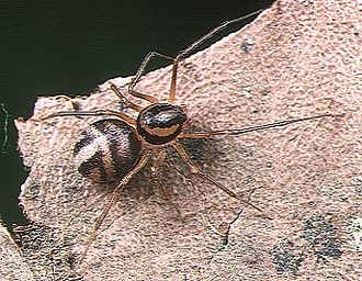 Spitting spider - Scytodes fusca female