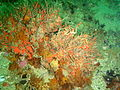 Sea fan covered by hairy brittle stars P4025192.JPG