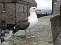 Seagull Edinburgh castle 01.jpg