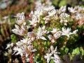 Sedum anglicum subsp. pyrenaicum (15157289882).jpg