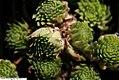 Sempervivum pumilum 1zz.jpg