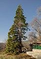 Sequoia in Sopot.jpg