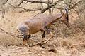 Serengeti Topi1.jpg