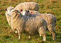 Sheep, Dedham 4.jpg