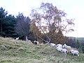 Sheep at Branchill - geograph.org.uk - 599461.jpg