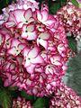 Shei-Pa National Park - Hydrangea macrophylla WANG.GUAN-REN . 008.jpg