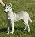 Siberian Husky grey & white 2.jpg